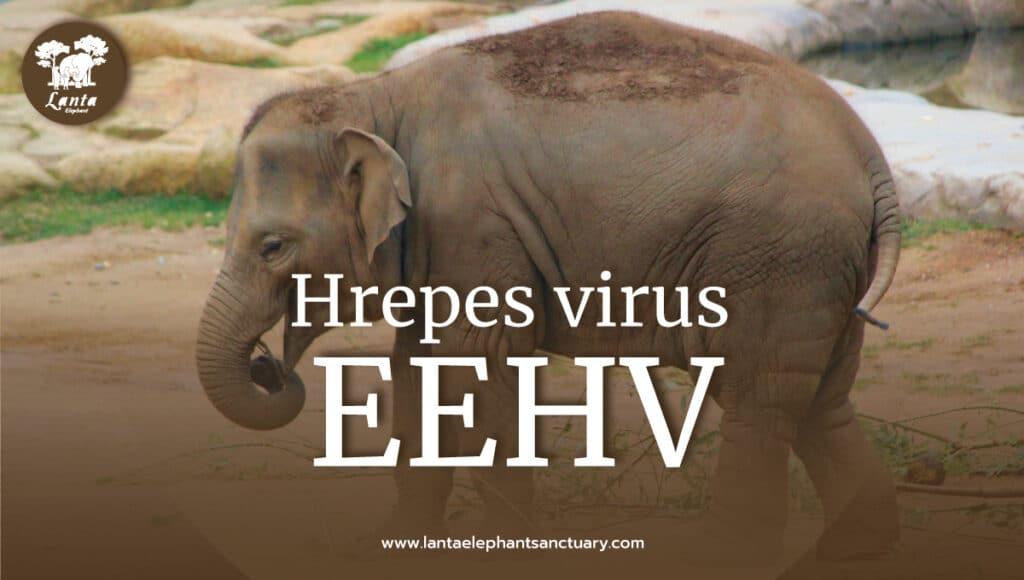 Elephant Endotheliotropic Herpes virus