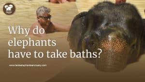 elephants have to take baths